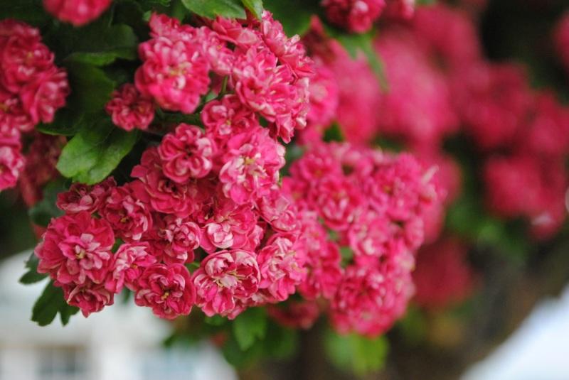 Tinhorn tree in bloom 03